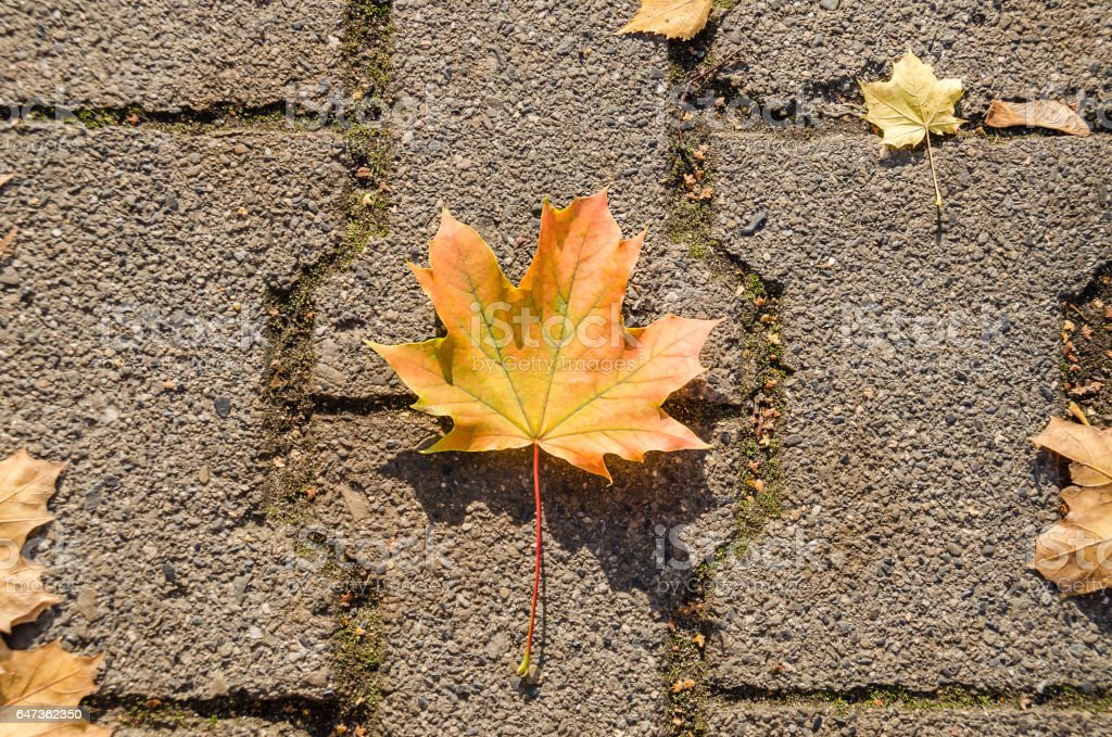 Maple leaf on the road stone in autumn stock photo