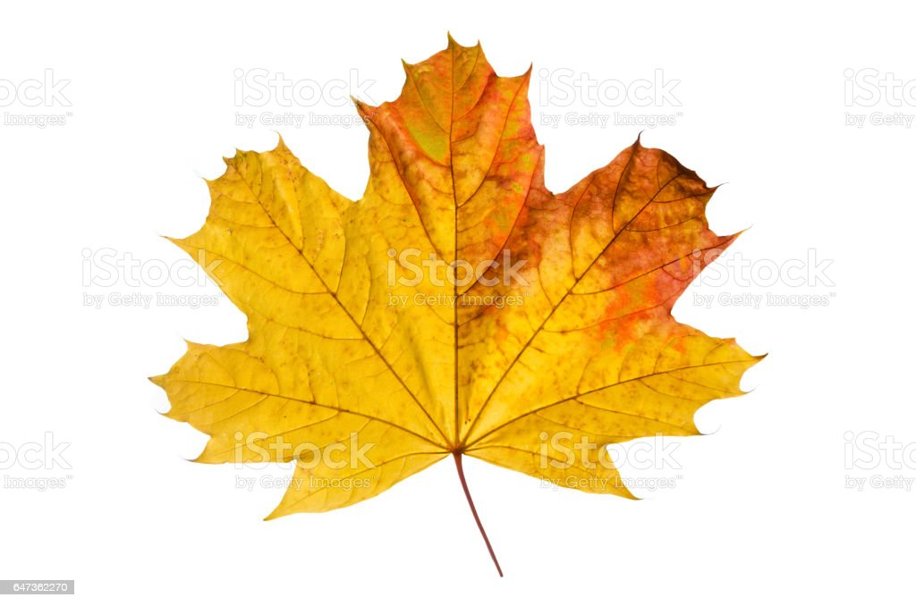 Maple leaf on the white stock photo