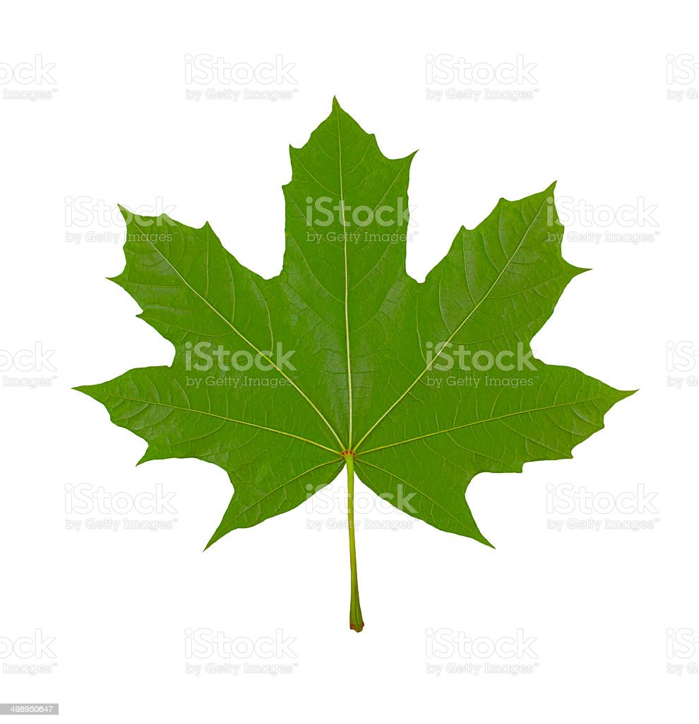 maple leaf on white background, macro photo, stock photo