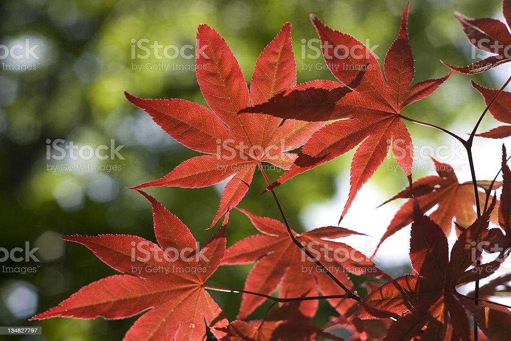 Maple leaf royalty-free stock photo