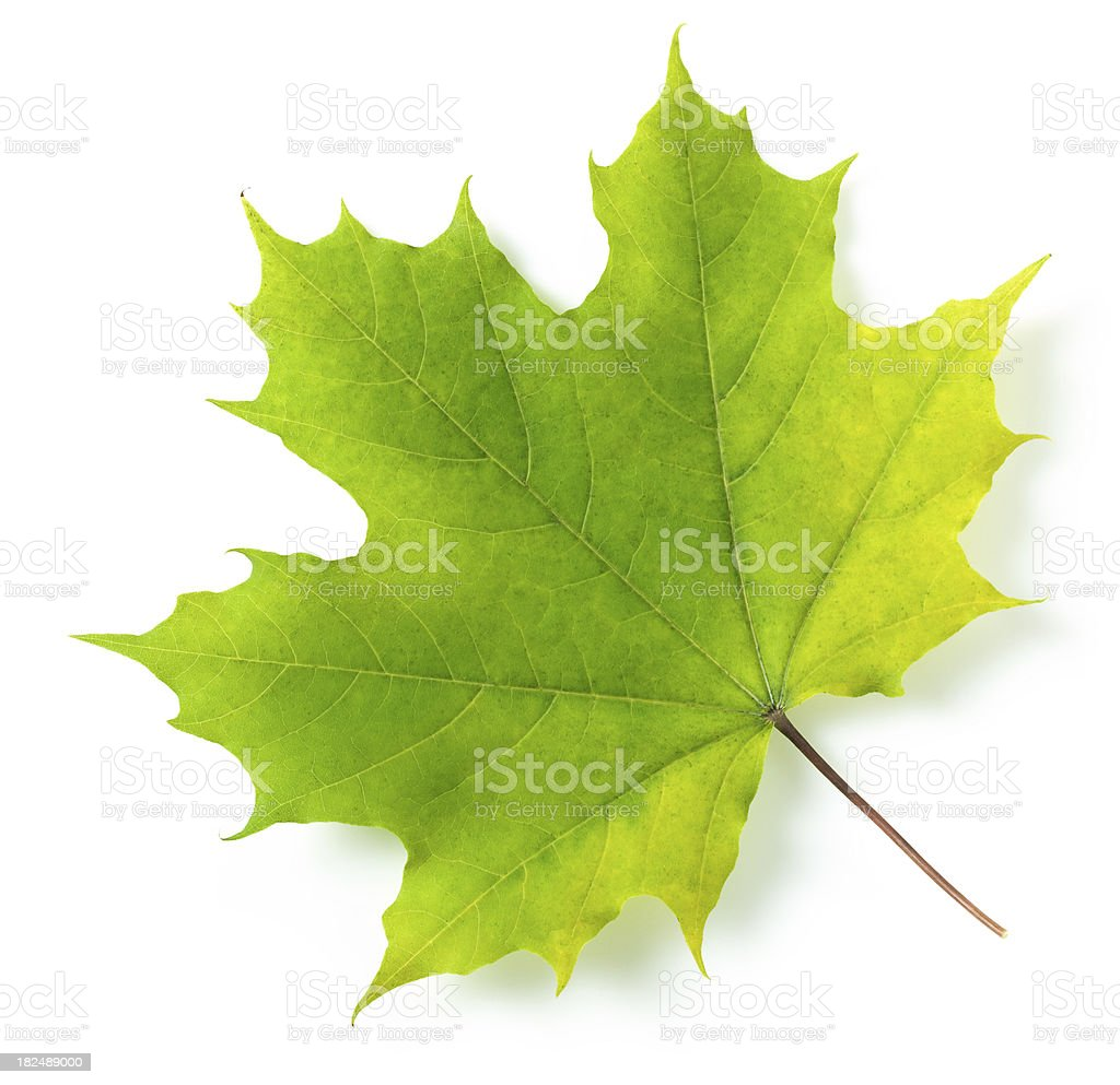 Maple leaf stock photo