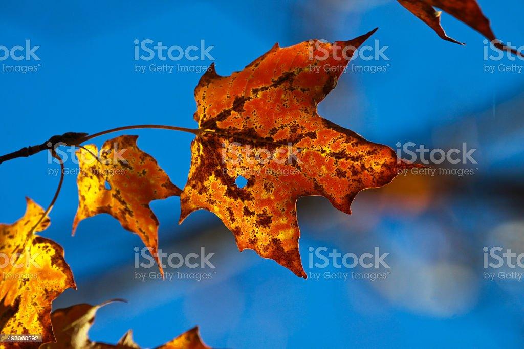 Maple leaf stock photo