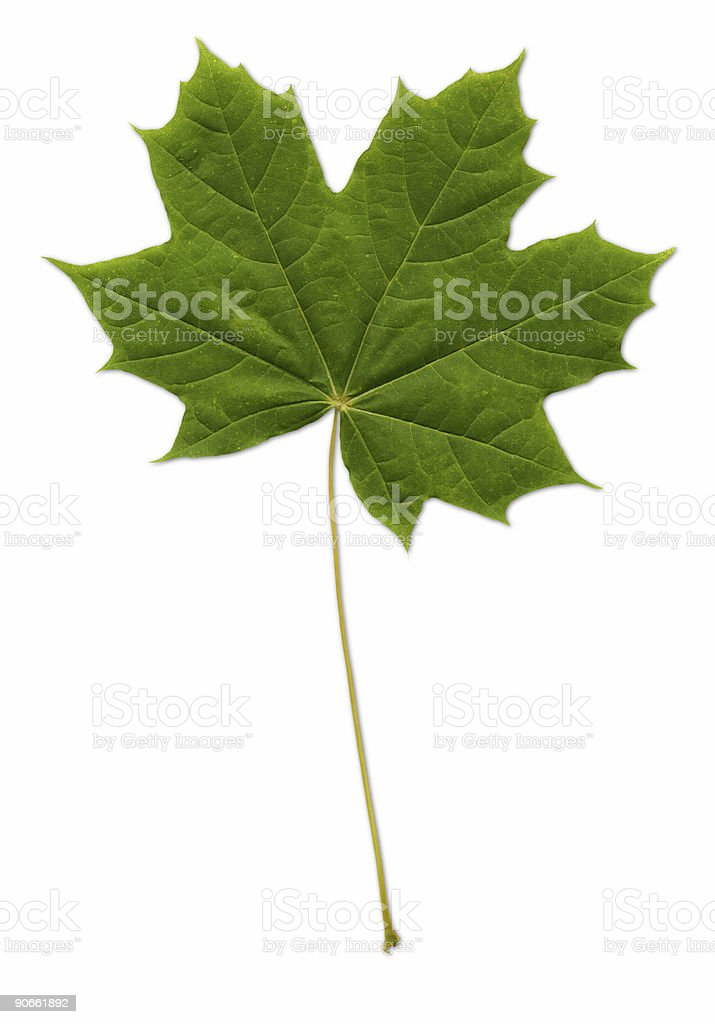 Maple Leaf (path included) royalty-free stock photo