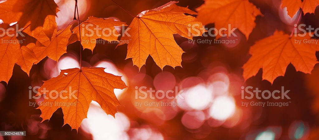 maple leaf red autumn stock photo