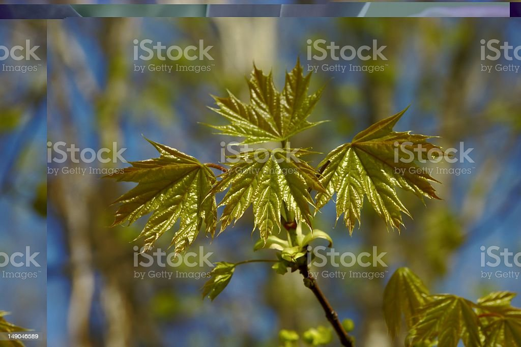 Maple leaf texture back lit royalty-free stock photo