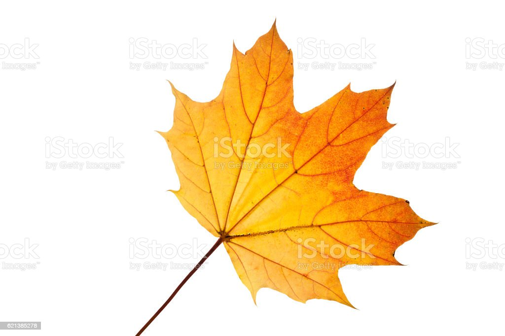 Maple leaf with autumn colors, isolated on white stock photo