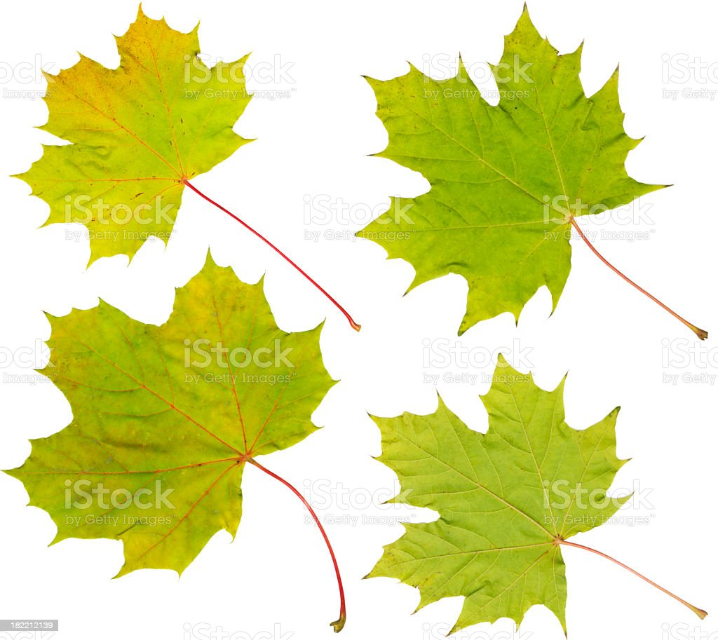Maple leafs with first autumn coloring XXXL royalty-free stock photo
