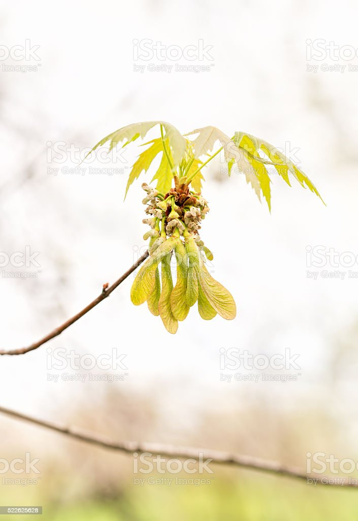 Maple Leaves and Fruits stock photo