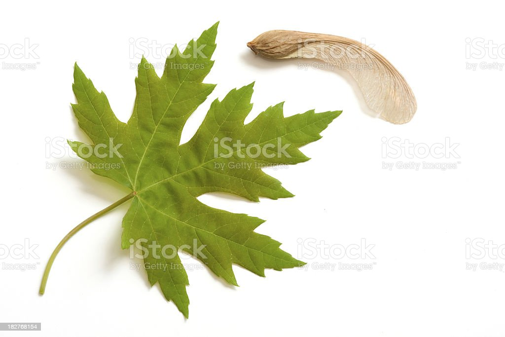 Maple Leaves and Pods stock photo