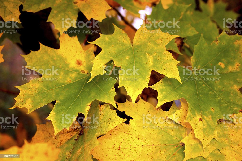 Maple Leaves Background stock photo