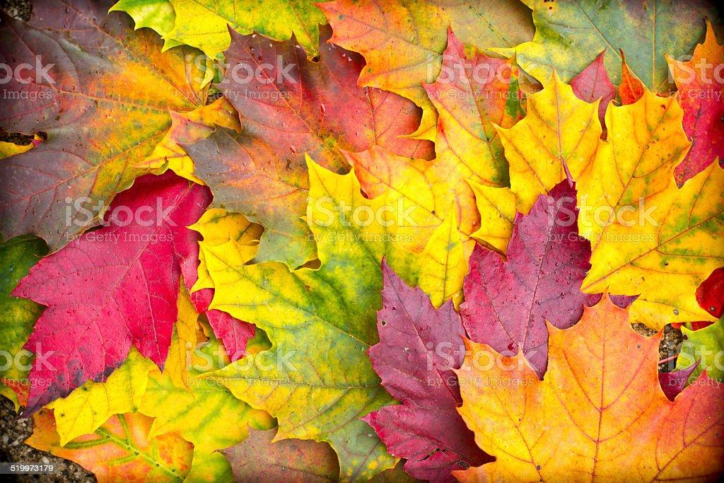 Maple leaves background stock photo