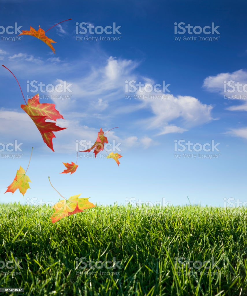 Maple Leaves Falling against a Blue Sky stock photo