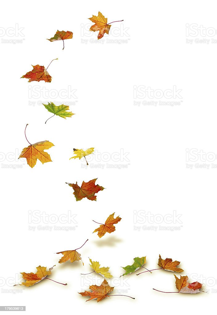 Maple leaves falling stock photo