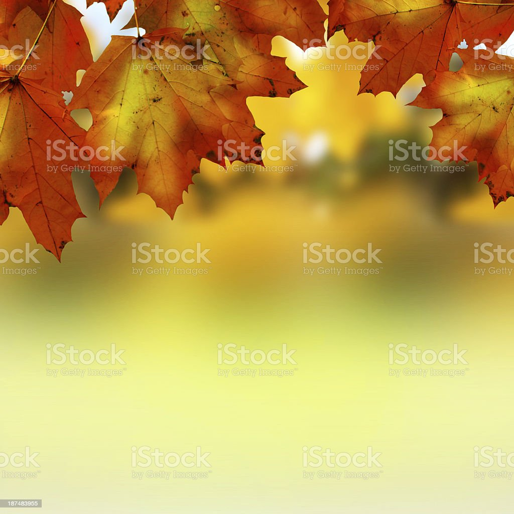 Maple leaves hanging above a blurred background royalty-free stock photo
