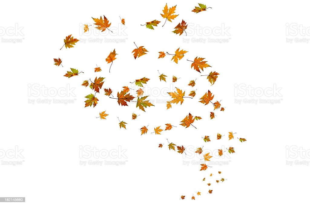 Maple leaves in a vertical spiral arrangement stock photo