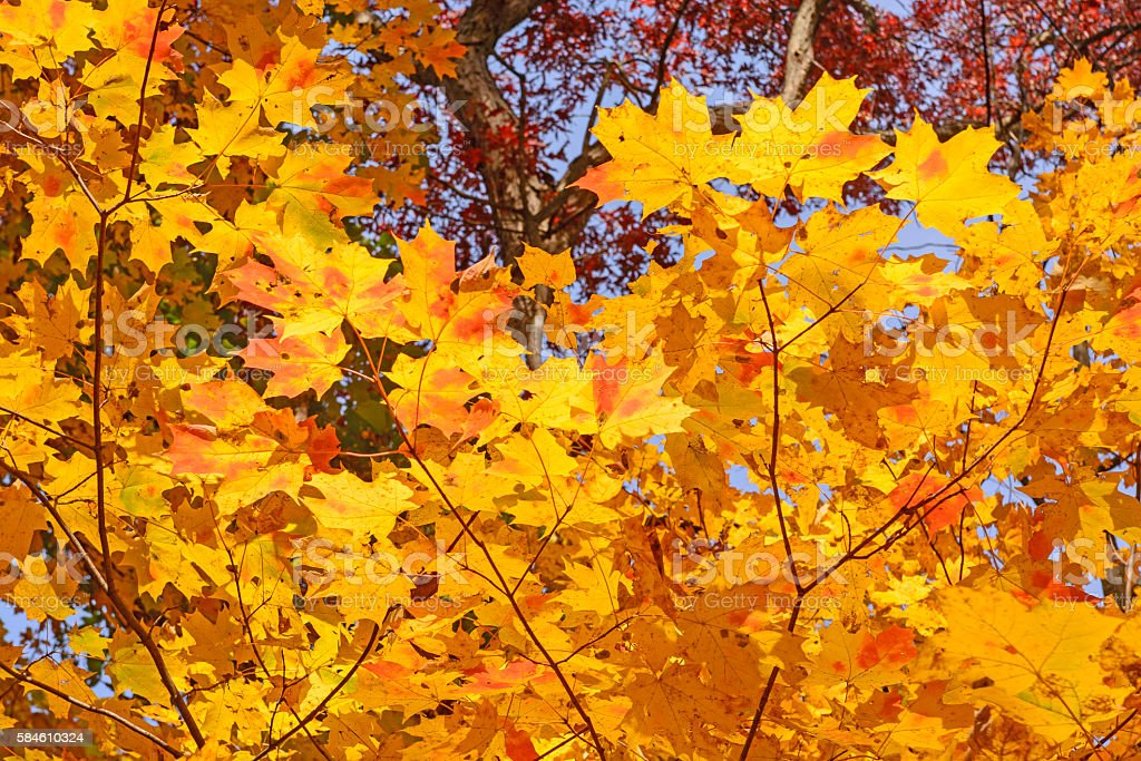 Maple Leaves in Fall Colors stock photo