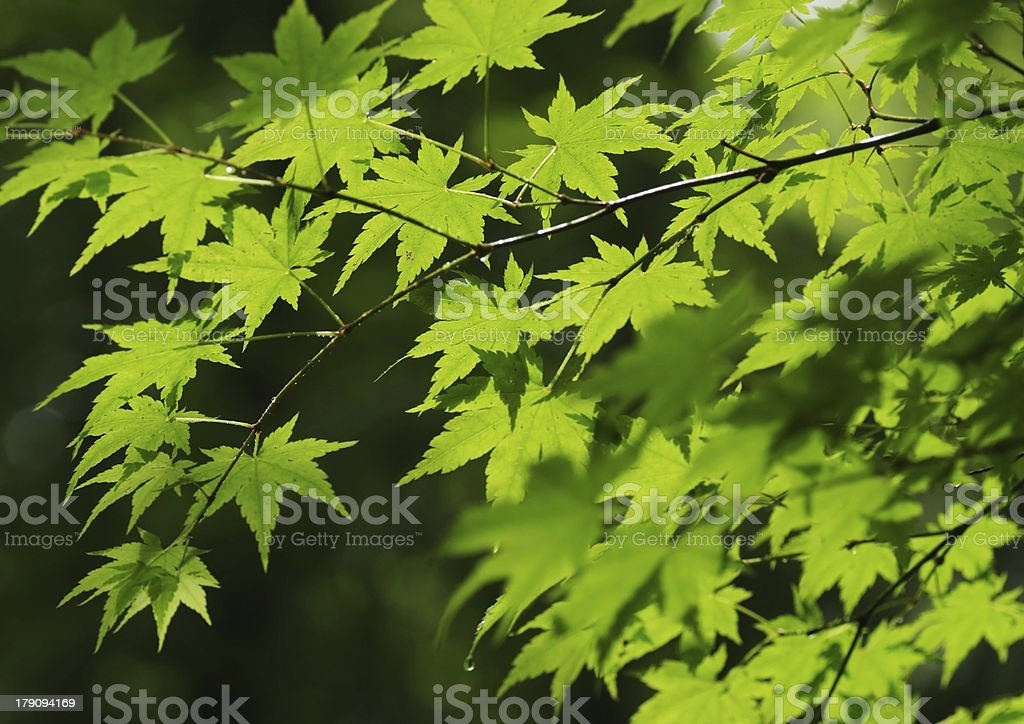 Maple leaves in fresh green royalty-free stock photo