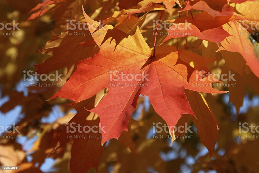 Maple leaves in the autumn royalty-free stock photo