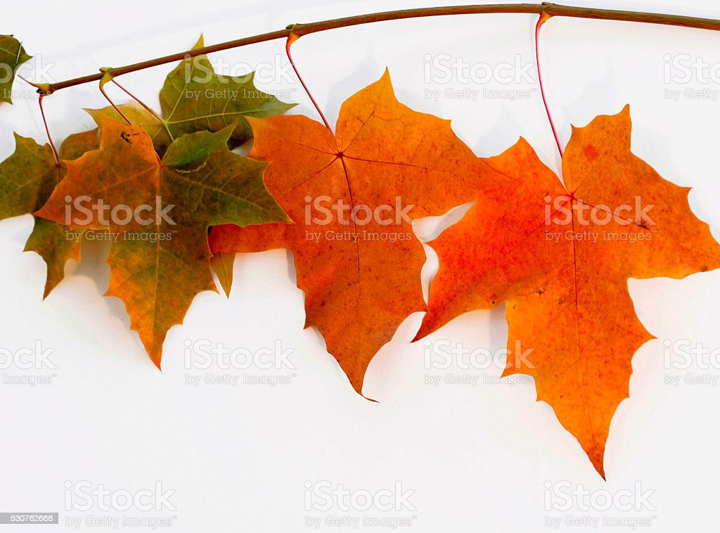 Maple Leaves in the fall for cropping stock photo