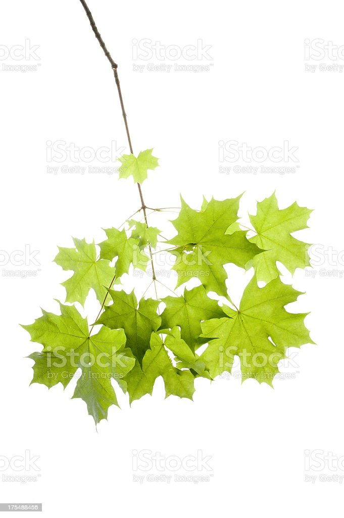Maple Leaves Isolated on White royalty-free stock photo