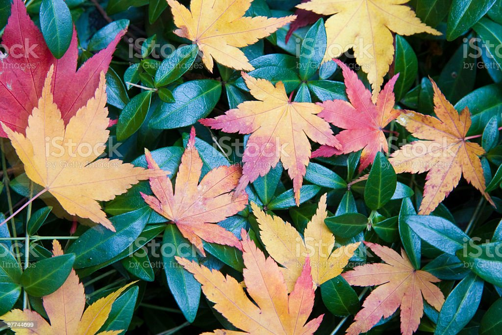 Maple Leaves on Green Foliage royalty-free stock photo