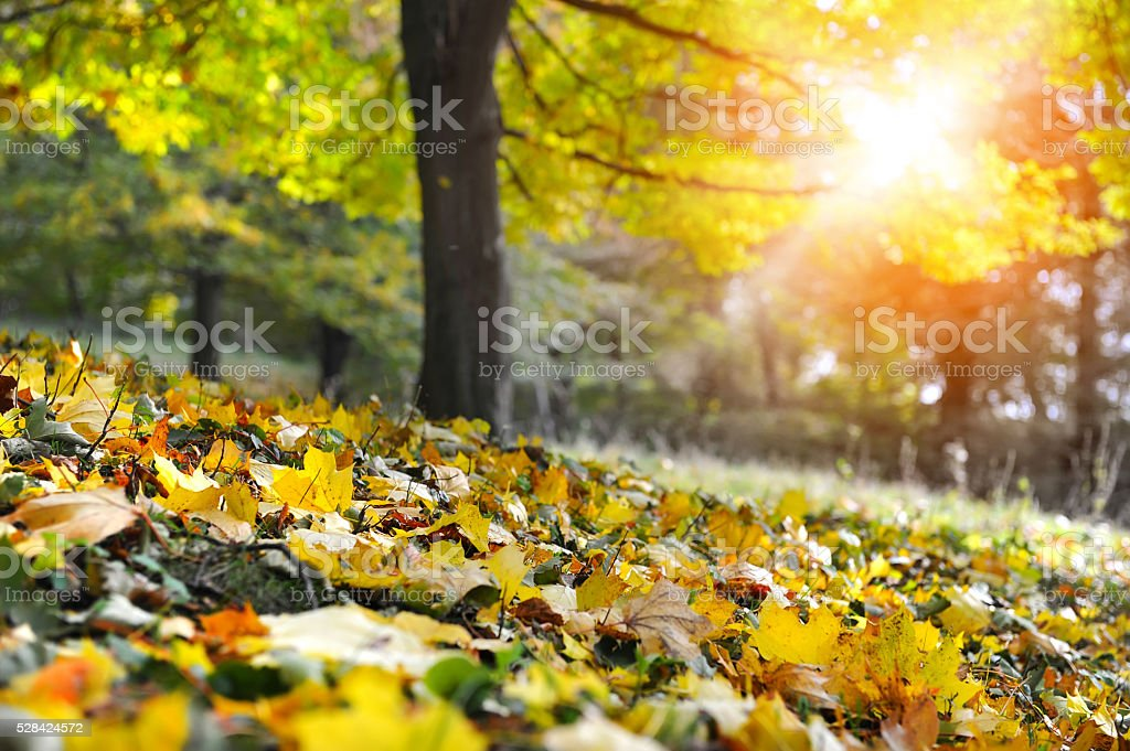 Maple leaves on the ground in a beautiful autumn forest stock photo