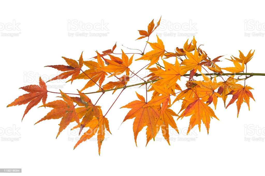Maple Leaves On White Background royalty-free stock photo