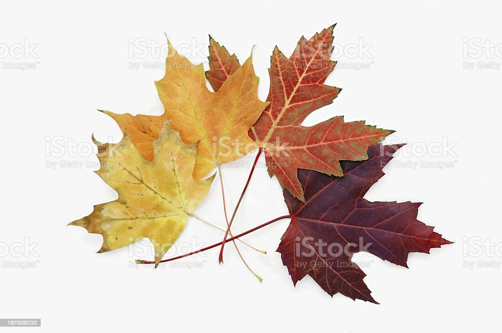 Maple leaves on white royalty-free stock photo