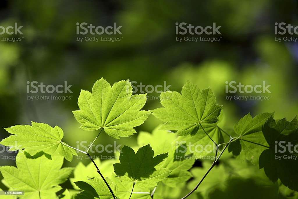 Maple leaves. royalty-free stock photo