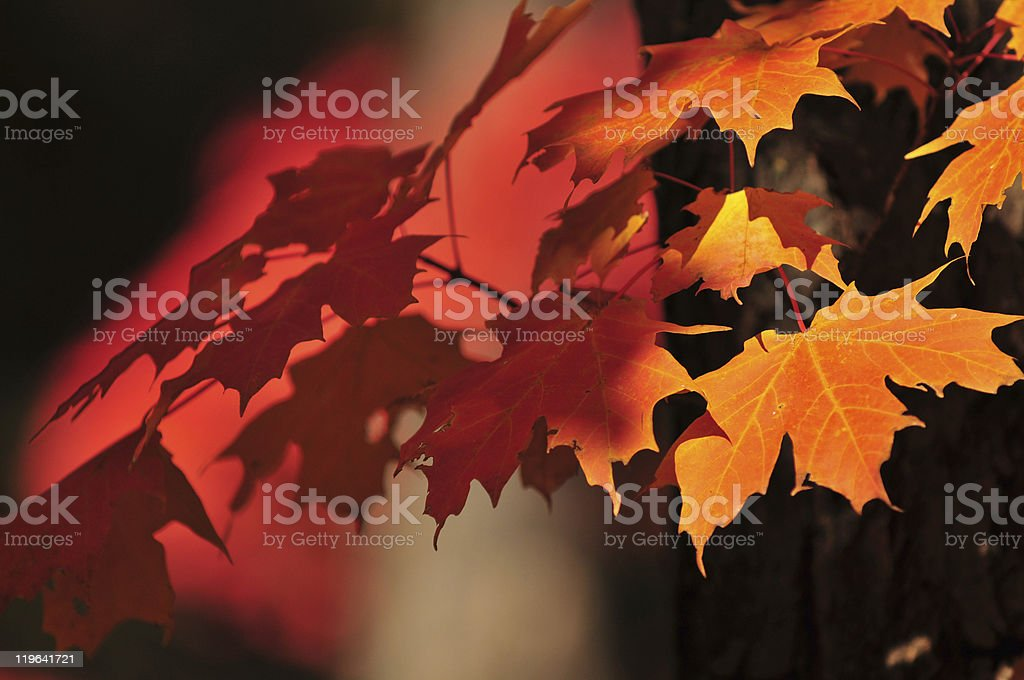 Maple Leaves & Shadows stock photo