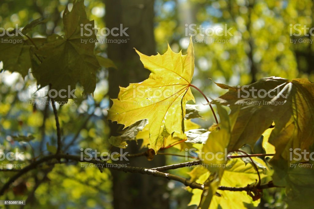Maple Leaves, Spring stock photo