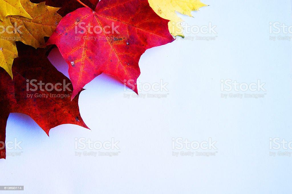 maple leaves white background stock photo