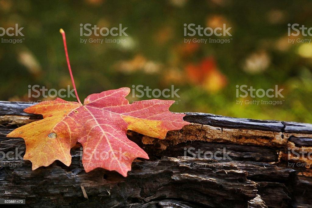 Maple Log stock photo