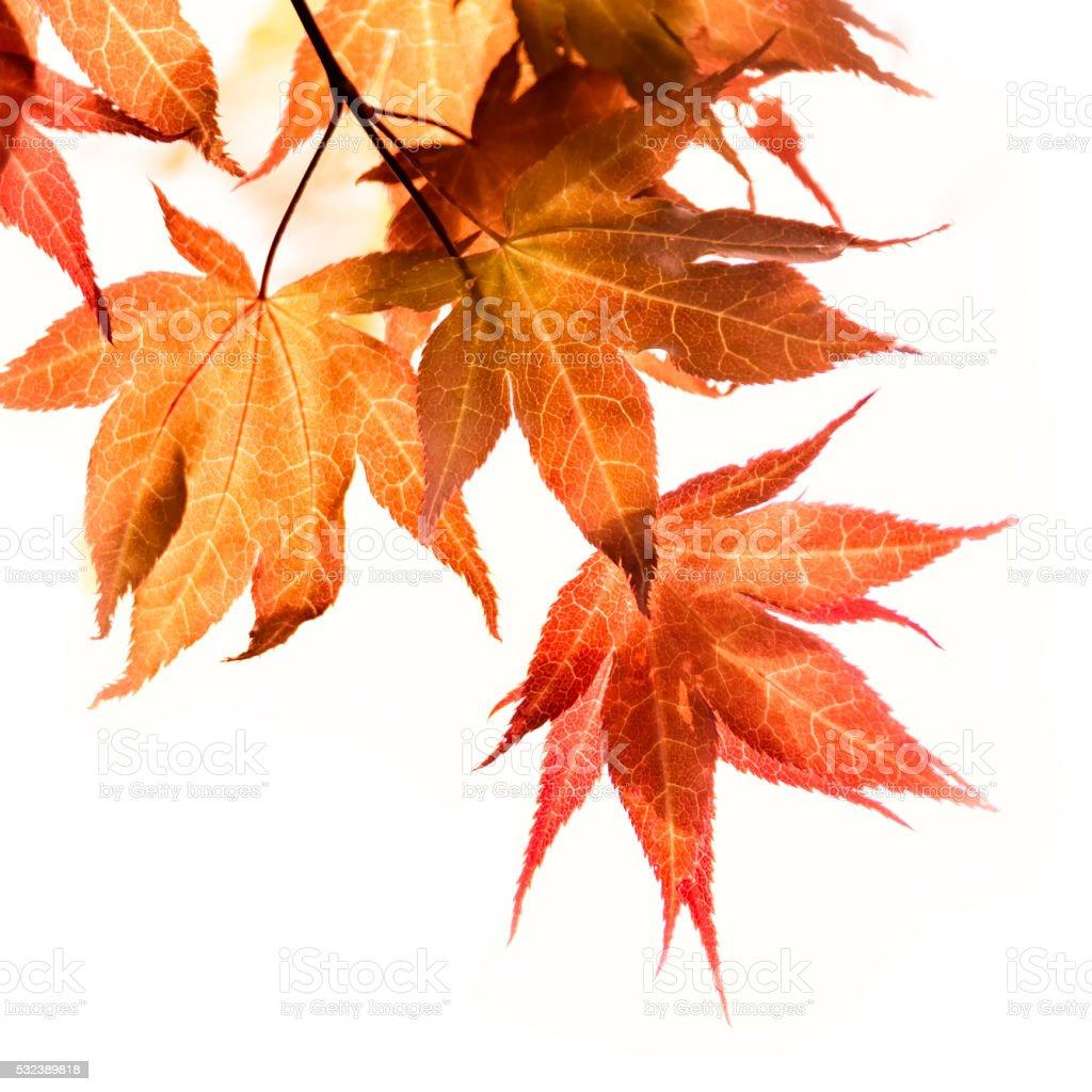 Maple on white background stock photo