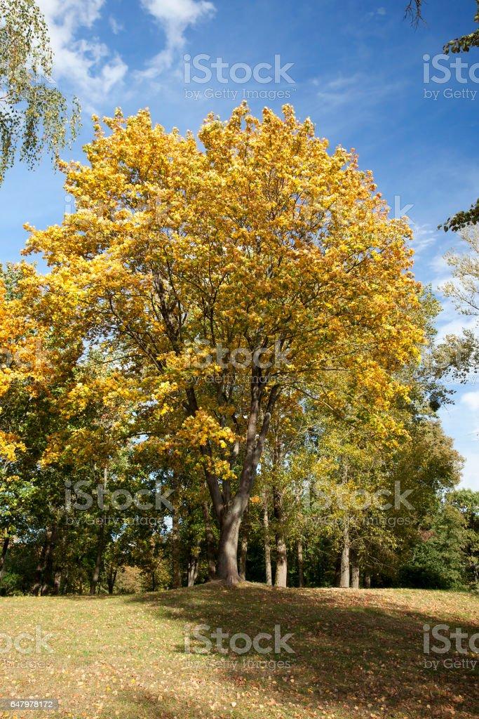 Maple Park in autumn stock photo