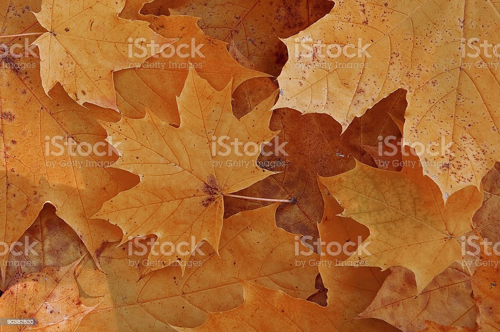 maple royalty-free stock photo