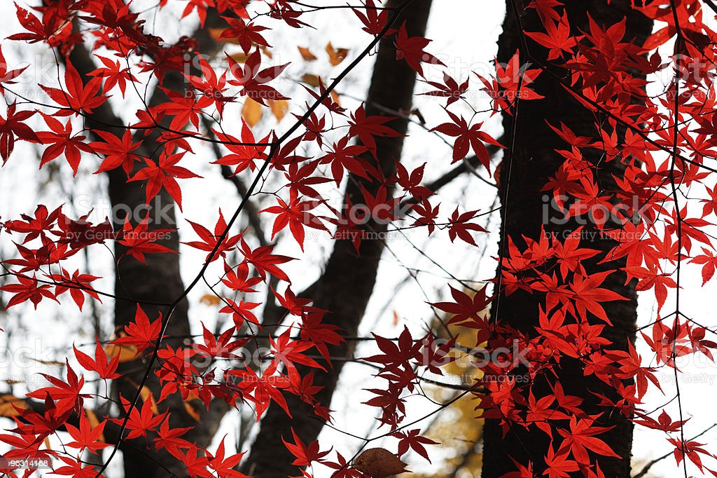 maple royalty-free stock photo