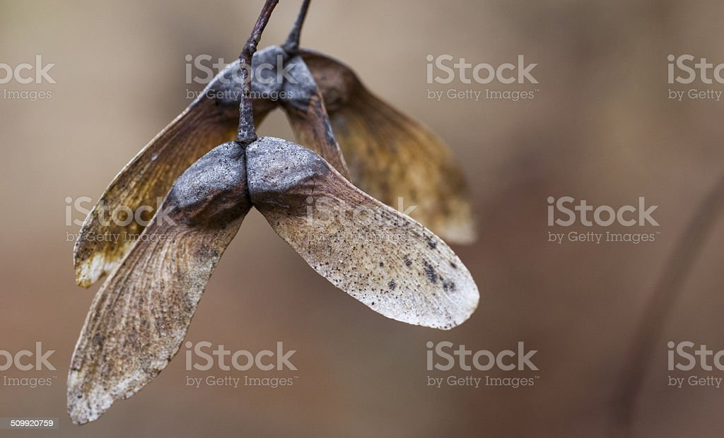 Maple Samaras Hanging on the Tree in Winter stock photo