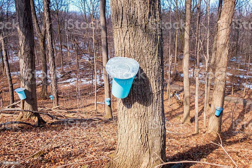 Maple Sap Being Collected for Making Maple Syrup stock photo