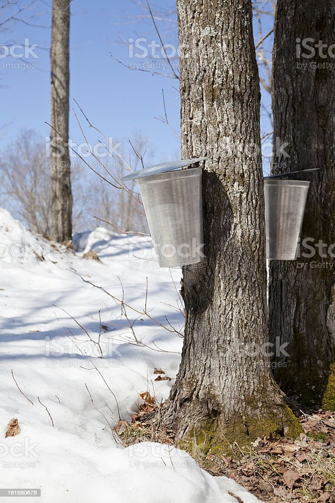Maple Sap Collection in Spring royalty-free stock photo