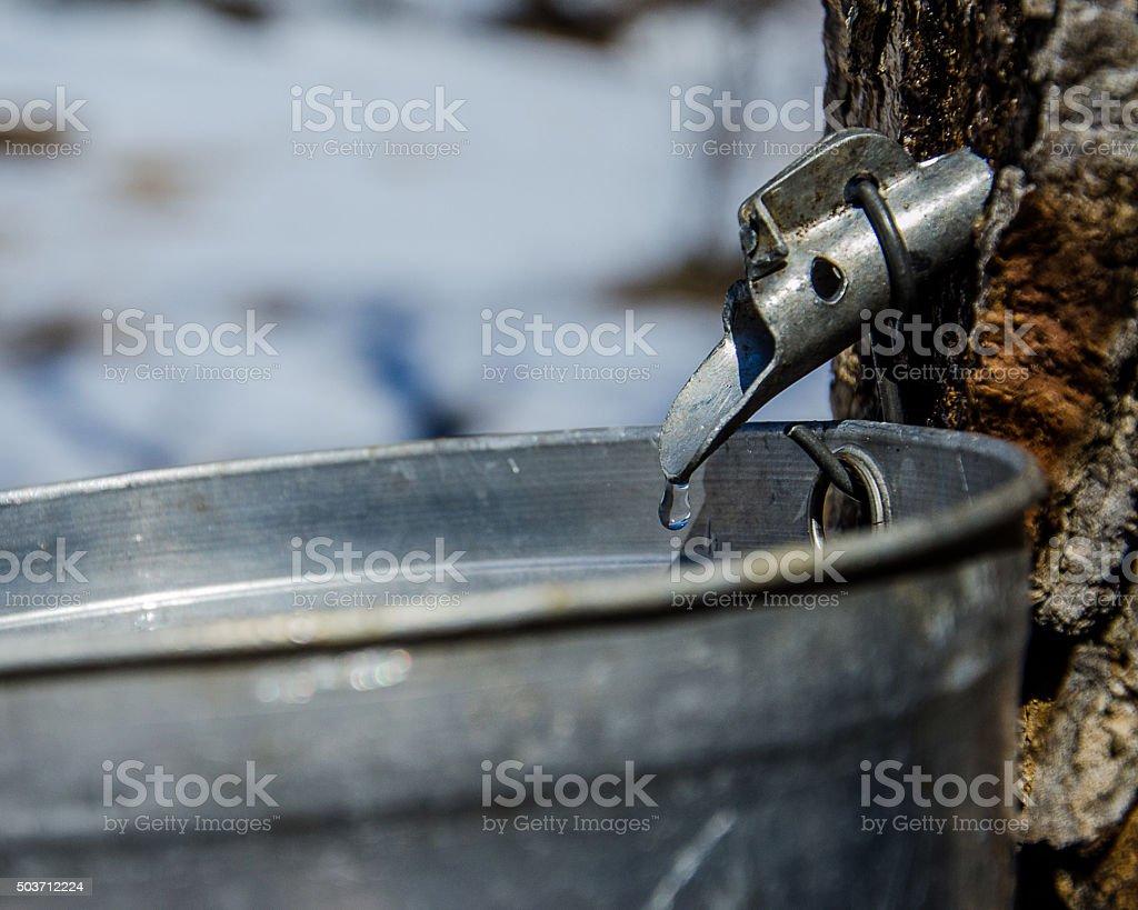 Maple sap drips into bucket stock photo