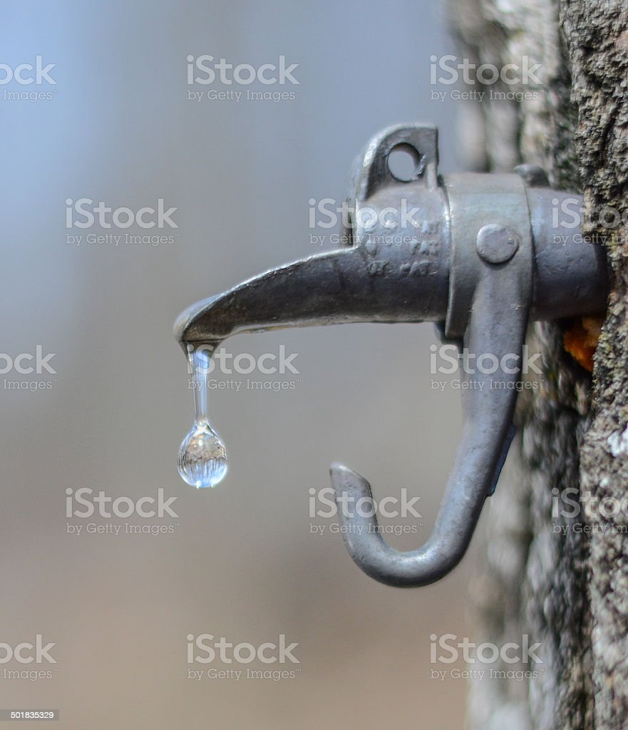 maple sap drop stock photo