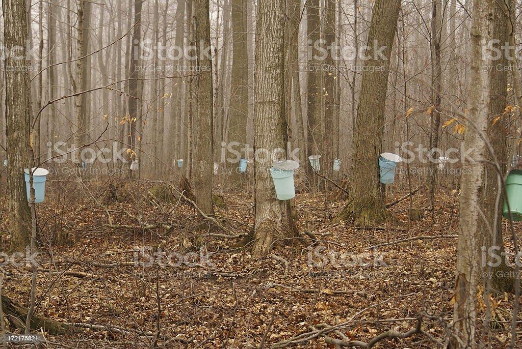Maple Sap Harvest royalty-free stock photo