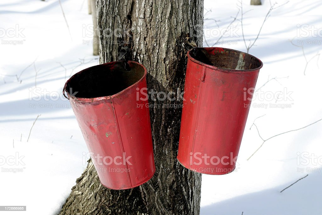 Maple sap time royalty-free stock photo