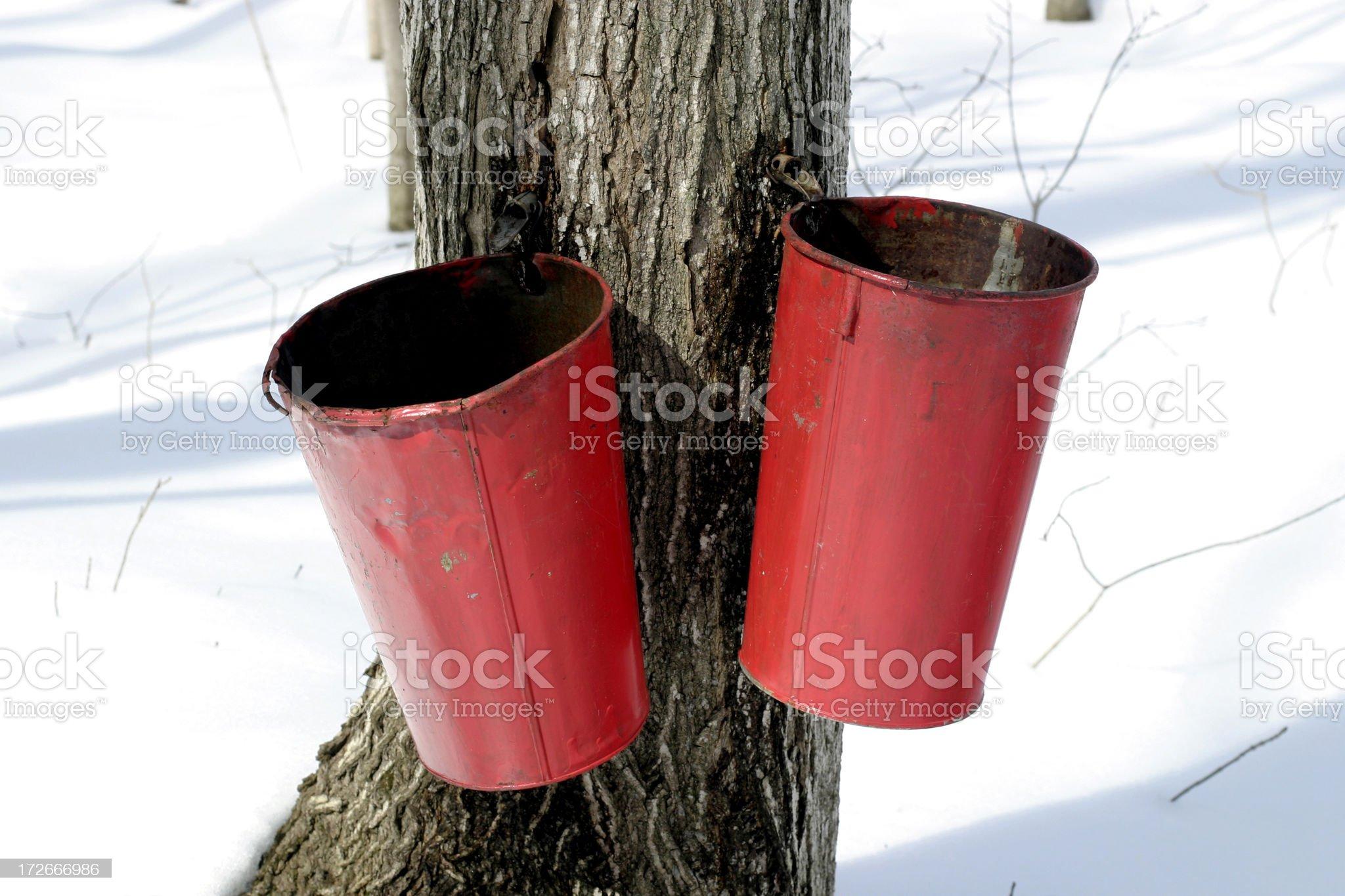Maple sap time royalty-free stock photo