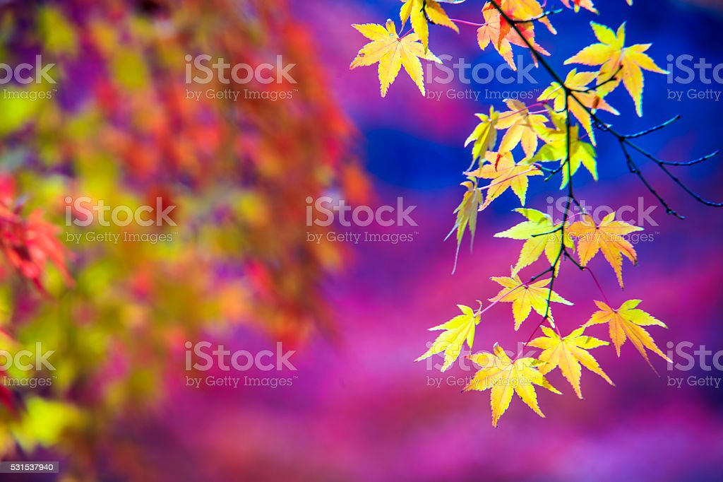 maple season at fall with nice background color stock photo