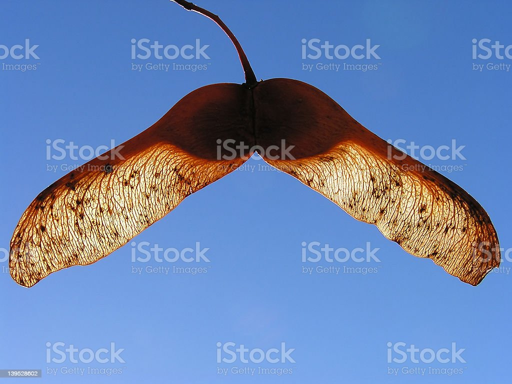Maple seed royalty-free stock photo