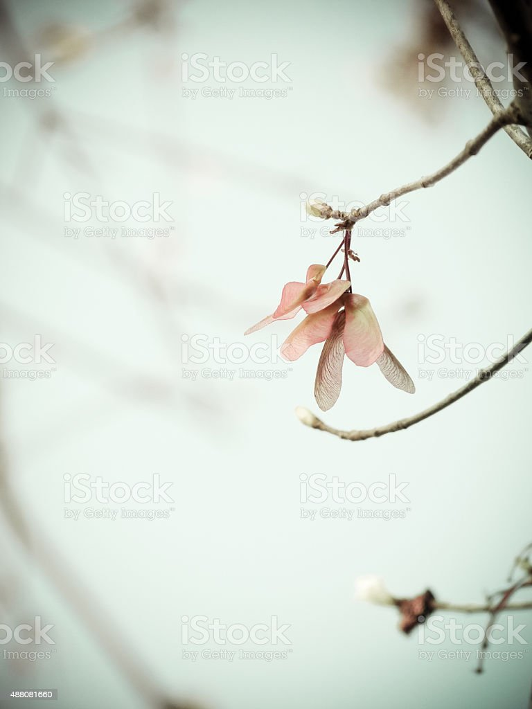 Maple Seed -- The Maple Tree Begins Life in Flight stock photo