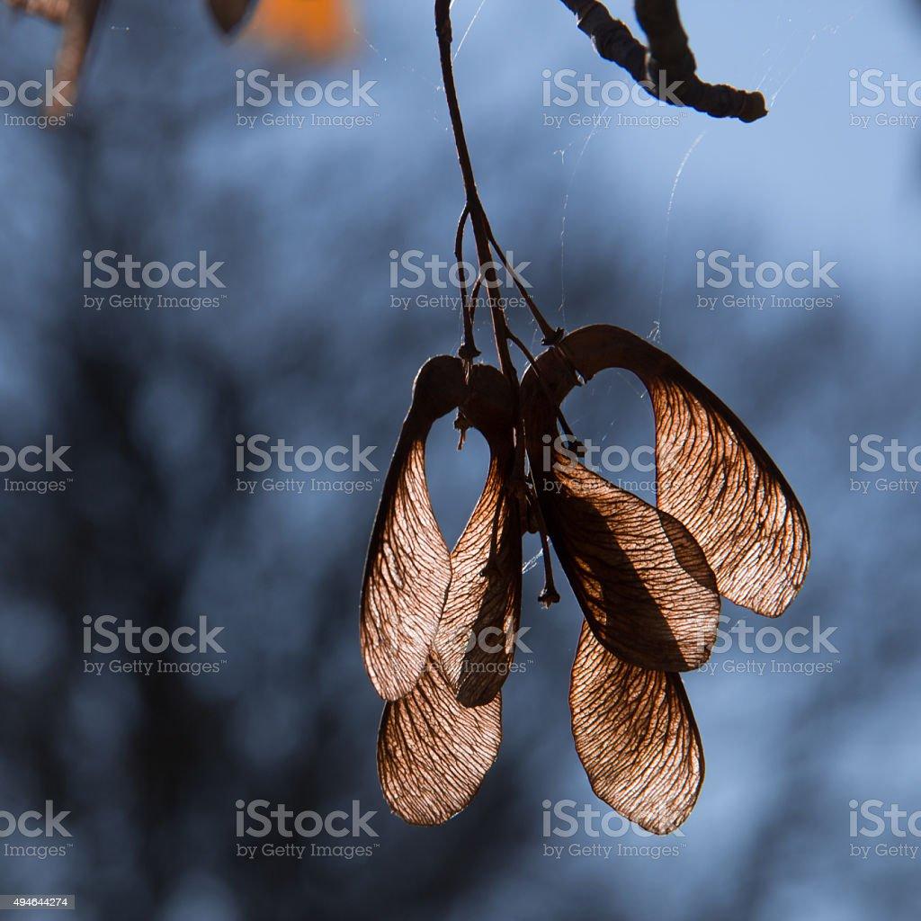 maple seeds  autumn stock photo