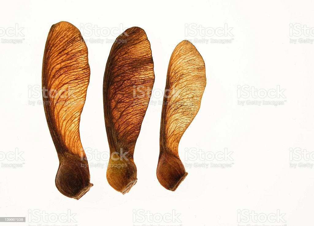 Maple seeds isolated on white background royalty-free stock photo